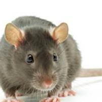 A Random Rat